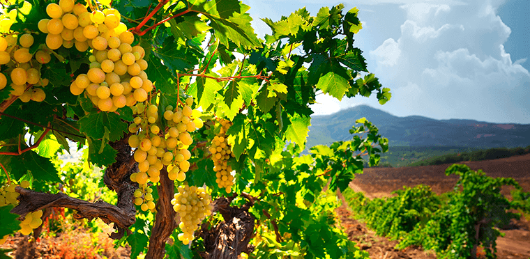 La vid: El fruto que da lugar al vino.